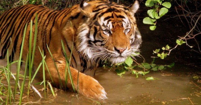the tiger on the raft