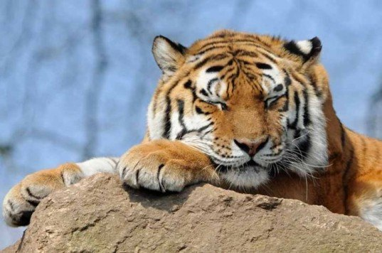 tiger, China, Chinese tigers, Myanmar, Burma, Mong La, endangered animals, endangered tigers, extinct animals