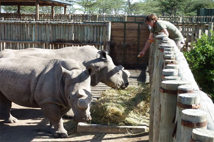 Only five Northern White Rhinos left in the world after