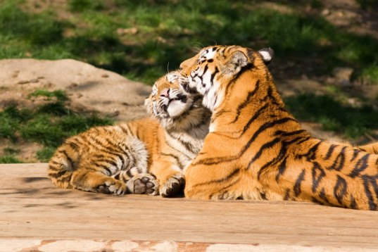 animals, wildlife, tigers, endangered species, endangered, India, conversation, government, efforts, protection, habitat, breeding, population, increase, growth, repopulate, big cats