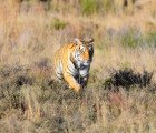 Indian tiger population climbs by 30 percent thanks to conservation efforts