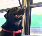 Smart Seattle dog rides the bus by herself to the dog park
