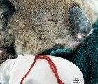 Injured koalas need your DIY mittens to treat their burned paws