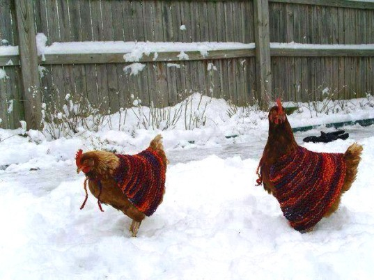 chicken sweaters, chickens, factory farming, battery farm, animal clothes, chicken coop, chicken health, pets