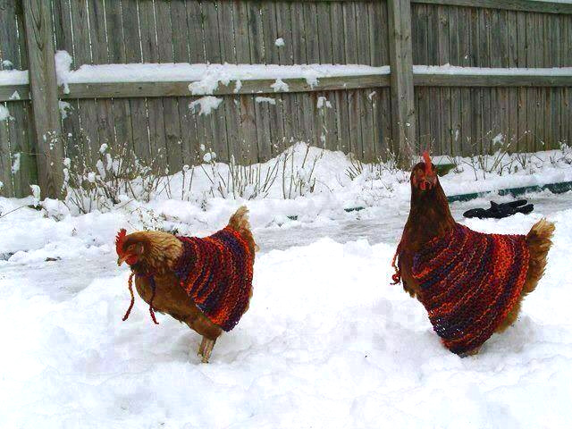 Why, exactly, are chickens wearing sweaters?