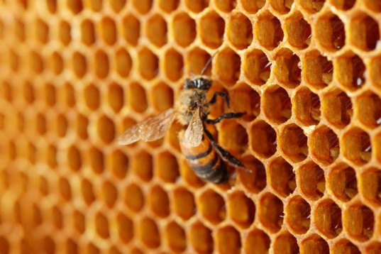 colony collapse disorder, bees, honey bees, hives, pollination, young bees, stress, environment, food sustainability