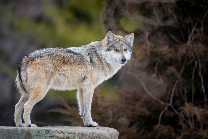 Grand Canyon S First Grey Wolf In 70 Years Killed By