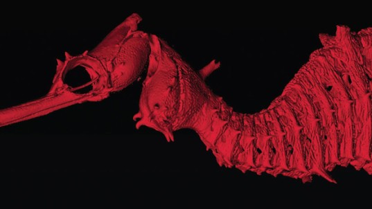 ruby seadragon, ruby, sea dragon, marine biology, marine life, aquatic life, underwater, ocean, discovery, western australia museum, scripps institute of oceanogoraphy,