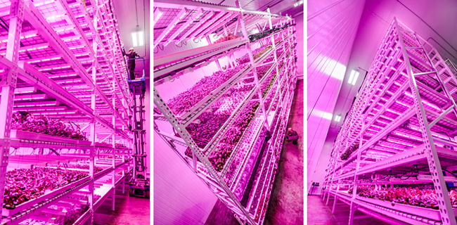 Philips Uses Leds To Bolster Urban Farming