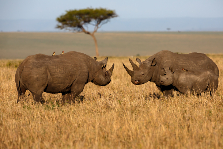 U.S. approves $350,000 hunt of endangered black rhino in ...