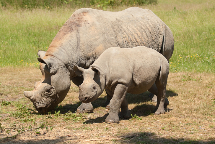 U S  approves $350,000 hunt of endangered black rhino in Namibia