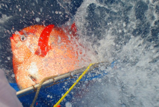 NOAA, NOAA Fisheries, Southwest Fisheries Science Center, world's first warm-blooded fish, warm-blooded fish, opah, moonfish, agile fish, predatory fish, science news, animals, conservation