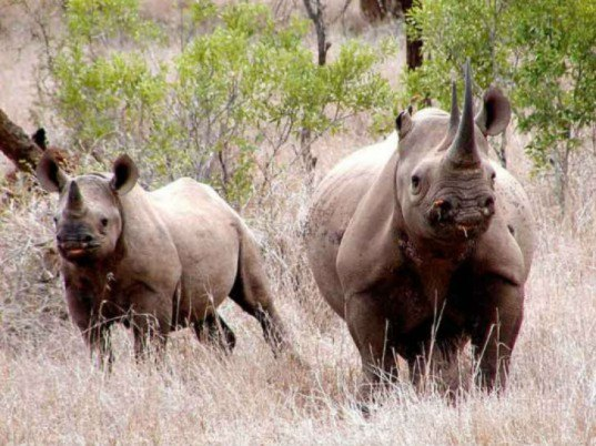 black rhinos, rhino killed, dallas safari club, corey knowlton, black rhino hunt, auctioned black rhino hunt, black rhinos in africa, african black rhino
