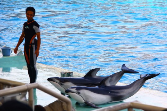 taiji dolphins, taiji dolphin hunt, taiji cove, the cove, japan zoos and aquariums, japanese zoos, dolphins in japan, cruelty to dolphins