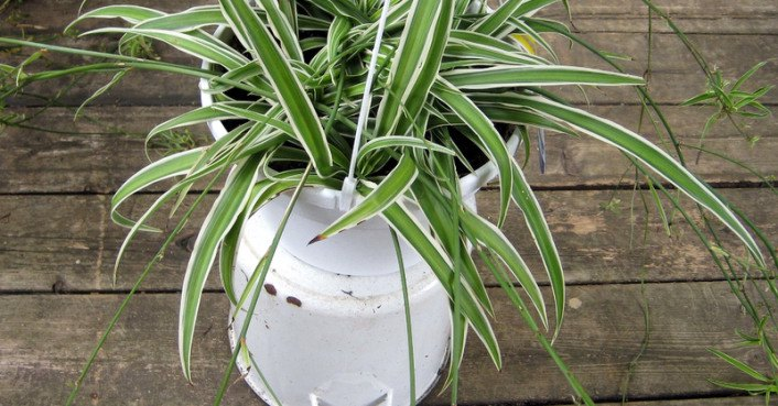 9 low maintenance plants for the office spider plants for Low maintenance plants for office