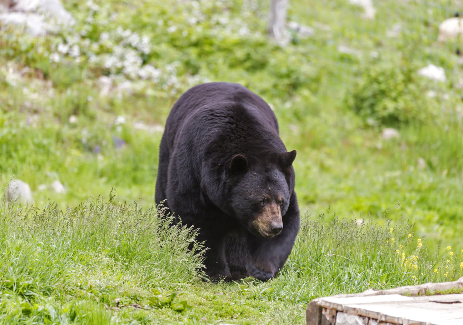 Indiana's first black bear in over 140 years spotted in the wild