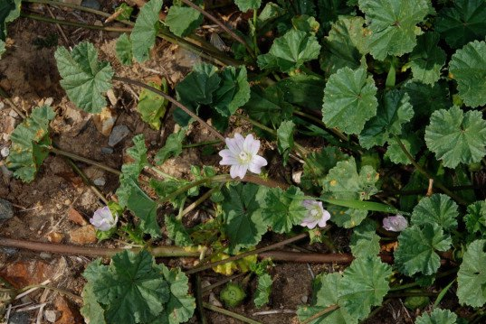 common mallow, Foraging for Poor Mans Pepper, urban foraging, foraging, park foraging