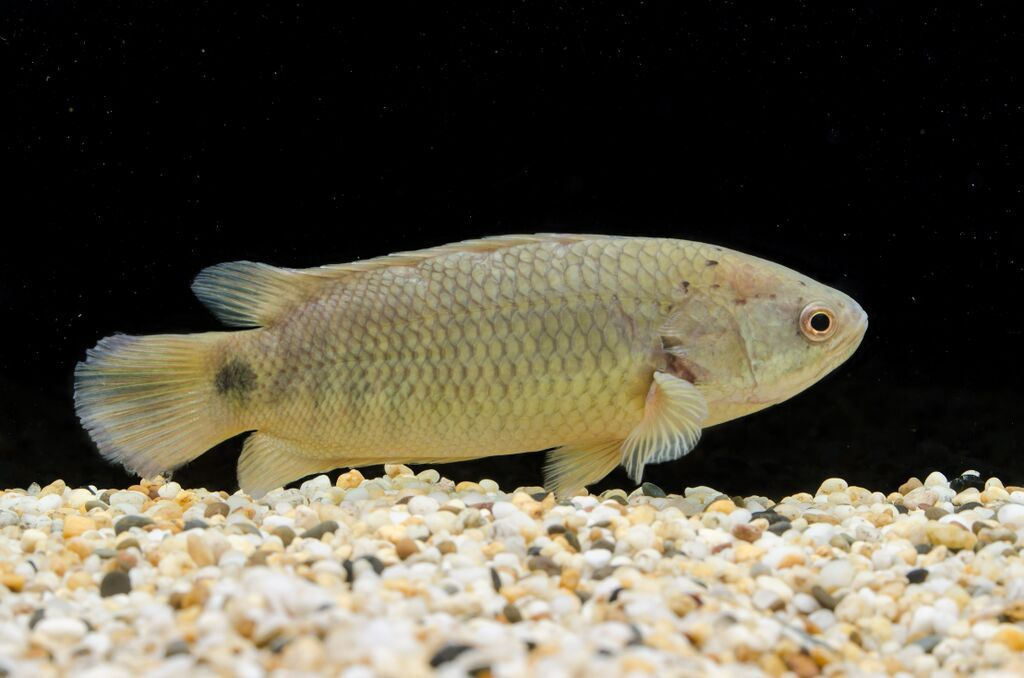"""Crazy """"missing link"""" Darwin fish can breathe air, walk on land AND climb trees!"""