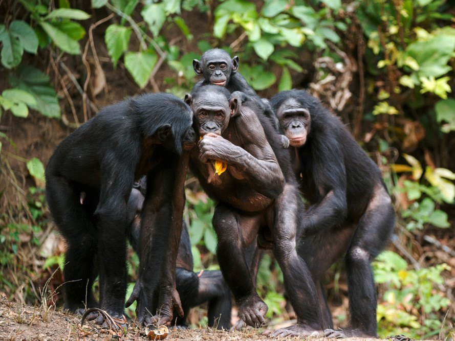 Chimps will cook their food if they have a chance bf0a2e679b1