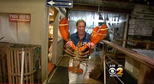 big lobster, 23 pound lobster, 95 year old lobster, how long do lobsters live, old lobster, long island aquarium lobster, lobsters, lobster rescue