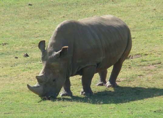 northern white rhino, northern white rhinoceros, nabire, endangered species, extinct, ivf, in vitro fertilization for rhinos, can northern white rhinos be saved