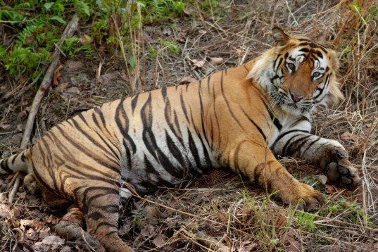tigers, endangered species, endangered animals, poaching, commercial development, threatened habitat, bangladesh, tiger population survey, tiger hidden camera census, tiger population Bangladesh