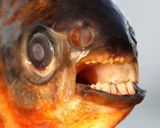 henrik carl, testicle-eating, testile-munching, fish teeth, pihrana, pacu, new jersey, swedes lake