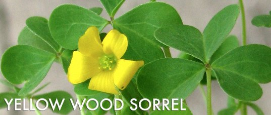 edible weeds, foraging, foraged weeds, foraged greens, how to forage for greens,  yellow wood sorrel, oxalis, irish shamrock