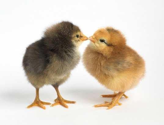 centers for disease control, cdc salmonella, chickens salmonella, chicken kiss, kissing chickens, backyard chickens, chicken health, chicken pets, ducks pets