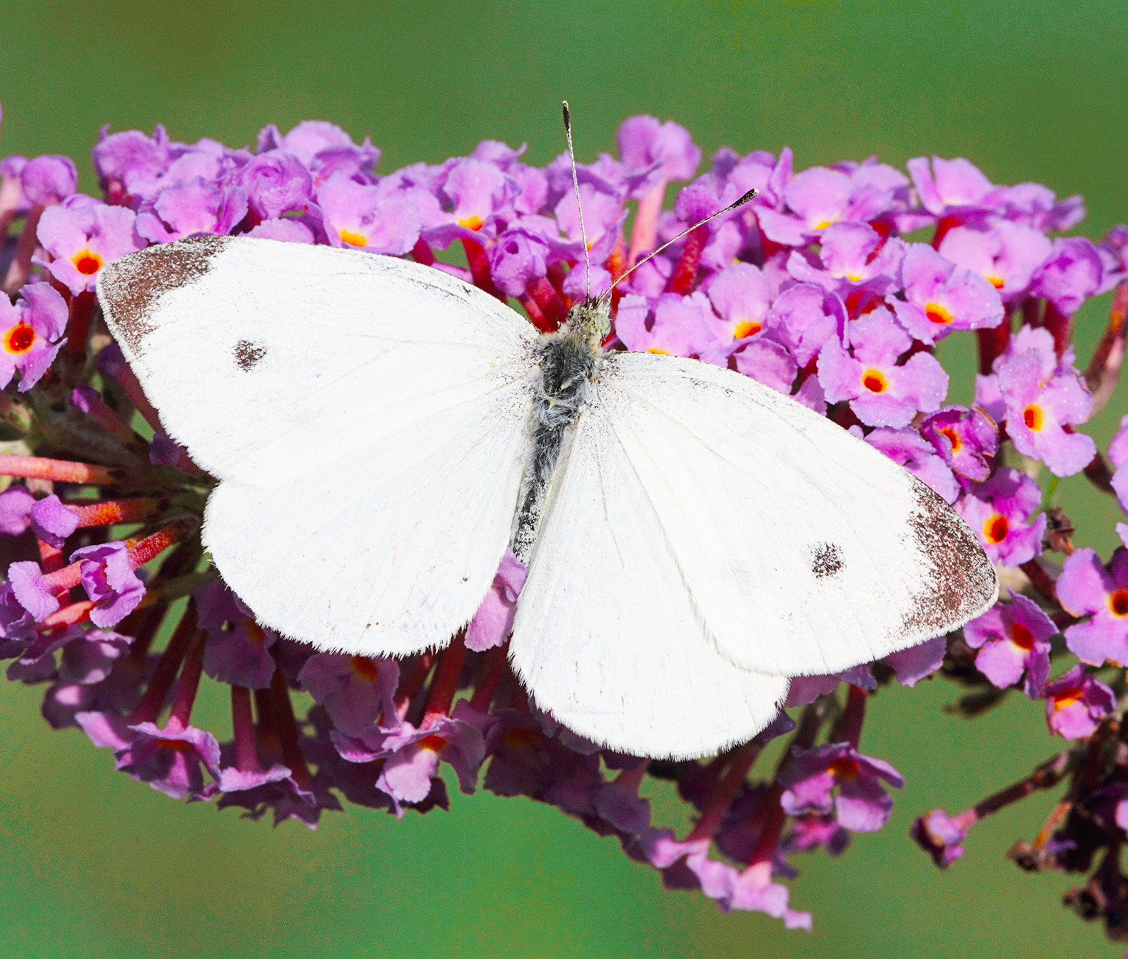 Butterflies may hold the secret to increasing solar output by 50 percent