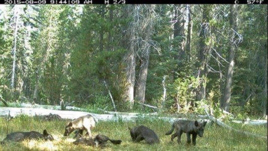 california wolf sighting, california gray wolf, california department of fish and wildlife, shasta pack california, wolves siskiyou county