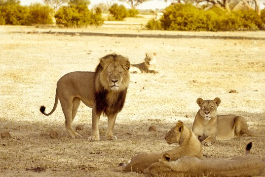 BREAKING: Cecil the lion's brother Jericho killed by poachers