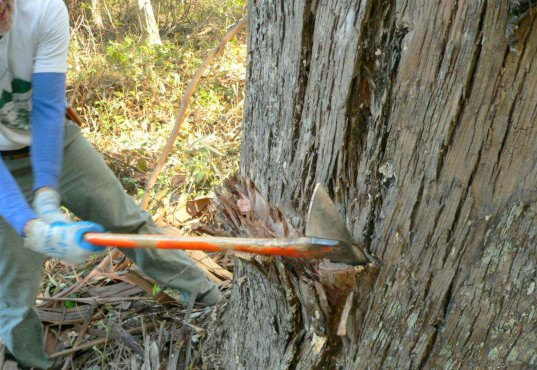 Chopping down a eucalyptus, sierra club deforestation, eucalyptus eradication