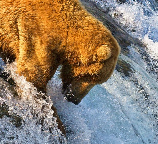 grizzly bear, grizzly bear fishing