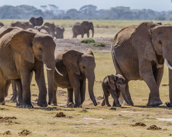 elephants, wildlife, poaching, ivory, ivory trade, illegal wildlife smuggling, GPS trackers, GPS, Africa, Sudan, Darfur, ivory ban, illegal ivory