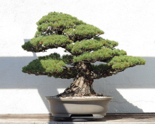 bonsai tree, oldest bonsai, national arboretum, washington dc, hiroshima, atomic bomb, little boy, 390 year old tree
