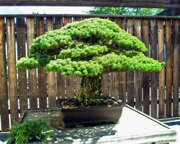 bonsai tree, oldest bonsai, national arboretum, tree survives hiroshima atomic bomb, little boy atomic bomb, 390 year old tree, bonsai care, japanese white pine