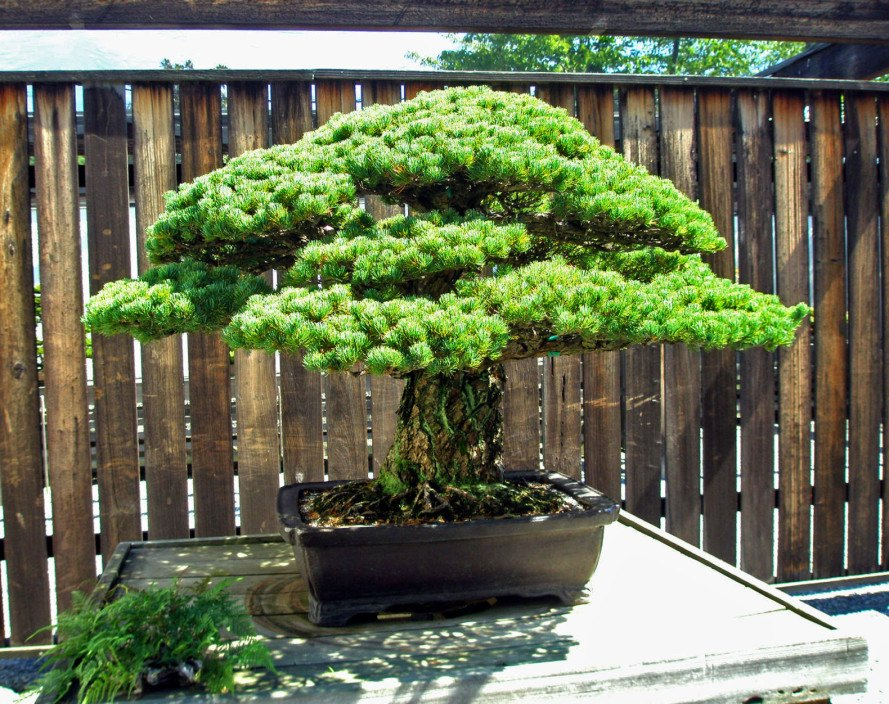 This Incredible 390 Year Old Bonsai Tree Survived An Atomic Bomb Blast