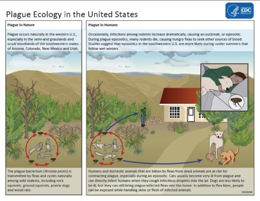 plague ecology, prairie dogs and plague, plague spread, plague in the west, plague in US