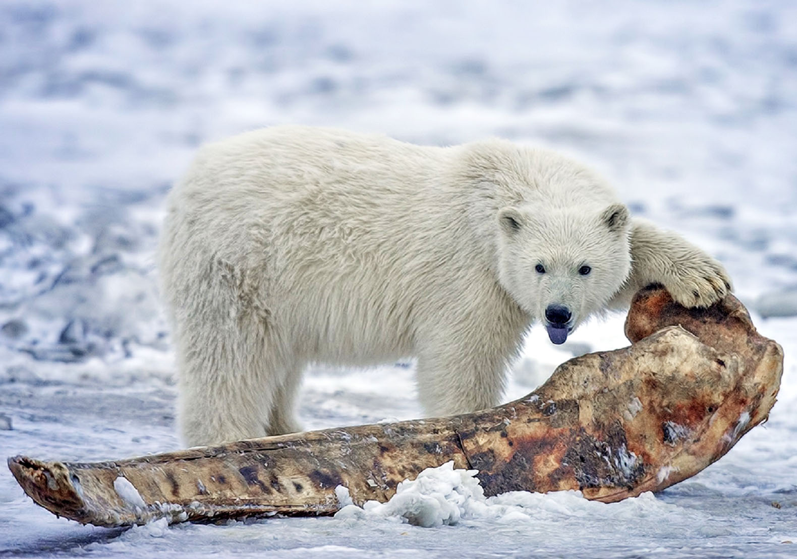 Pizzly bears are appearing in the rapidly warming Arctic