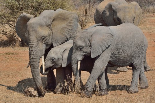 ivory trade ban, china ivory trade ban, united states ivory trade ban, president obama ivory ban, president xi jinping ivory ban, african elephant ivory trade, ivory poaching, commercial ivory ban, elephant tusks
