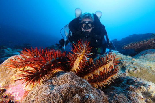 starfish, diver, crown of thorns starfish