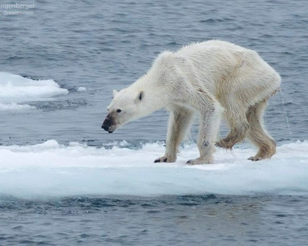 arctic, ice caps melting, climate change, global warming, wildlife, polar bears, endangered species, polar bear endangered, arctic ice, Svalbard, Norway, Barents Sea, viral photo