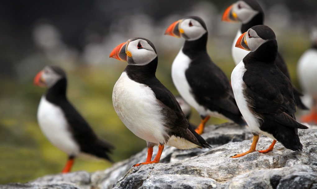 Not the Puffins! Another 4 bird species facing extinction ...