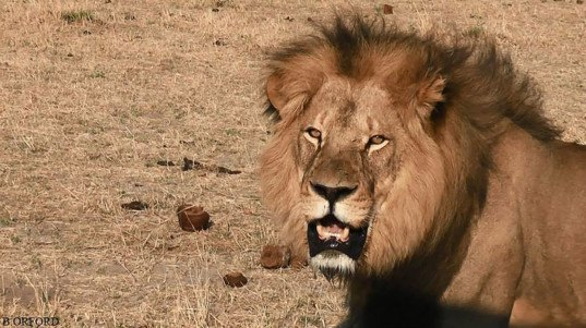 walter palmer, zimbabwe, cecil the lion, illegal killing of lions, hunting, animal cruelty, Hwange National Park, Zimbabwe Conservation Task Force
