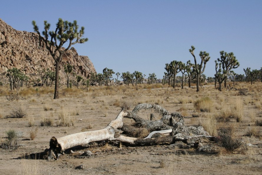 joshua tree, joshua tree national park, climate change, joshua tree climate change, desert tree, joshua trees dying