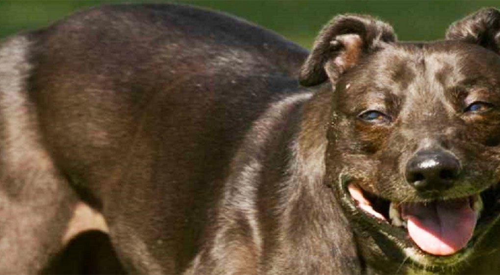 Chinese scientists genetically engineer muscular superdogs ...