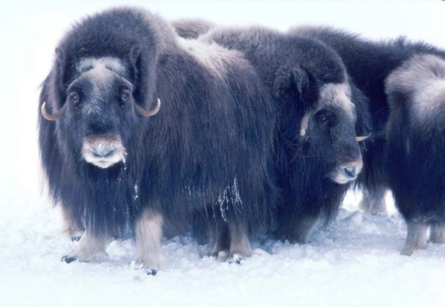 alaska, muskox, musk oxen, climate change, animals stranded on ice, kill muskox stranded, hunters allowed to kill muskox, alaska allows muskox hunting, alaska allows mercy killing for stranded musk oxen