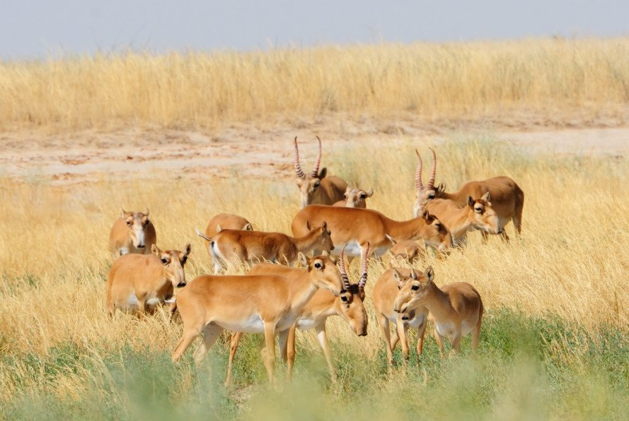 saigas, saigas antelope, saigas deaths, saigas bacterial infection, saigas climate change, climate change environment effects, climate change animal populations, wildlife conservation, antelope conservation