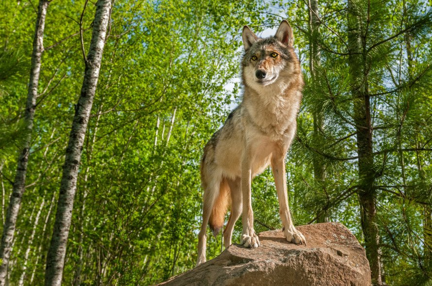 gray wolves, endangered wolves, oregon wolves, wolf hunting, wolf shooting, threatened species, wolf hunt